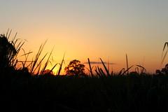 Setting sun in the grass (Hrishi the experimentor) Tags: kaziranga evening sunset elephant grass national park assam capture jeep safari
