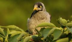 Noisy Miner (Edwinna Bartley) Tags: australianbirds backyardbirds sydney nsw noisyminer manorinamelanocephala