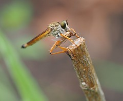 Robber Fly With Winged Termite. (MikeC4503) Tags: robber fly bee insect macro outdoors olympus 60mm em5