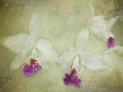 Orchid Trio (boeckli) Tags: flowers orchids pflanzen plants plant outdoor bloom blossom blüten blumen bunt farbig flower bright textures texturen blooms blossoms painterly pastel gently purple lila orchideen elné dirkwüstenhagen indoor