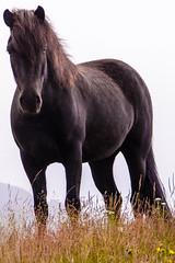 SHL_4481 copy (Shlomi's Pic) Tags: addtoonepic איסלנד בעליחיים טבע טיולחול סוס