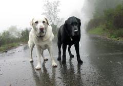 Larry and Ella (eks4003) Tags: larry ella dog labs seniordogs rain oakland