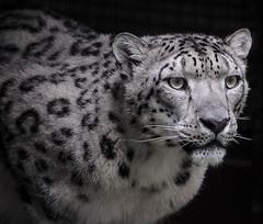 Snow Leopard. (Delboy Studios) Tags: wildlifefoundation wildcatworld snowleorpard blackwhite