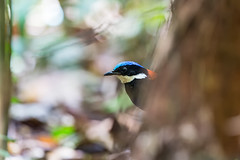 I see you but you may not .. 2  2 (liewwk - www.liewwkphoto.com) Tags: blueheadedpitta  hydrornisbaudii blueheaded pitta pittidae endemictoborneo endemic borneo bird malayisa forest jungle malaysiabird asia liewwk canon     malaysiabirdtour malaysiabirdphotographytour malaysiabirdwatchtour  endemicguides birdtourmalaysia