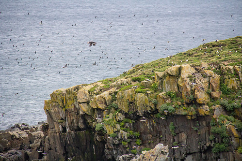 Puffins at Elliston 11