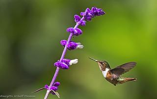 colibri, hummingbird..