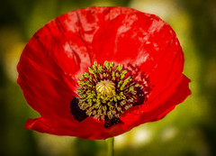 Dulce Et Decorum Est... (RonnieLMills - 2 Million Views...Thank you All :)) Tags: dulce et decorum est wilfred owen ww1 poem remembrance day poppy