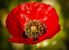 Dulce Et Decorum Est... (RonnieLMills) Tags: dulce et decorum est wilfred owen ww1 poem remembrance day poppy