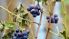 Harvesting Survivors (gps1941) Tags: grapes vine vineyard trauben leftover rest