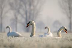 Duivense Broek (Arnold van Wijk) Tags: landschap landscape winter frozen gelderland duiven nederland netherlands polder weiland animal dieren bird vogel zwaan swan