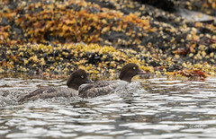 Along the Shore (Rick Derevan) Tags: alaska bird commongoldeneye duck goldeneye kodiak bucephalaclangula