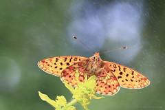 Pearl-bordered fritillary (ildikólaskay) Tags: butterfly papillon schmetterling falter lepke macro pearlborderedfritillary fritillary boloriaeuphrosyne grandcollierargenté silberfleckperlmutterfalter veilchenperlmutterfalter perlmutterfalter insect insekt rovar farfalla mariposa árvácskagyöngyházlepke gyöngyházlepke hungary