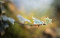 Reach Out (shawnraisin d+p) Tags: 50mm canon6d macro nature plant shawnwhite autumn bokeh dream dreamy enchanting garden ivy leaf leaves magical mood mystic softlight