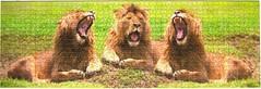 Lwen-Trio (Leonisha) Tags: puzzle jigsawpuzzle lion lwe lions lwen panorama