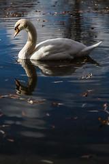 Verulamium Lake swan (_MarkPayne_) Tags: swans verulamiumpark winter swan low key