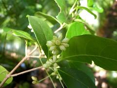 Hodgkinsonia ovatiflora 13 (barryaceae) Tags: sea acres national park port macquarie australianrainforestplant australian rainforest plants species new south wales australia ausrfps the coastal walk
