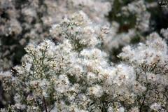 A Sneeze of Seeds (zeesstof) Tags: bush containmentpond naturewalk seeds sterlingridge texas thewoodlands zeesstof