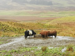 """We could do with some shelter"", Ledmore Junction, Sutherland, Nov 2016 (allanmaciver) Tags: cows eating wet muddy ledmore junction sutherland belted galloway breed moor allanmaciver"