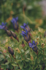 Gentiana 5, Laverty Lakes, Eagle Cap Wilderness 2016 (Sara J. Lynch) Tags: sara j lynch eagle cap wilderness wallowas eastern oregon laverty lakes francis bowman trail lake gentiana gentian purple flower flowers wildflower wildflowers granite