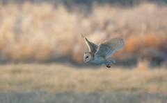 Morning Glory (Barn Owl series, 3 of 3 images) (KHR Images) Tags: barnowl barn owl tytoalba wild bird birdofprey inflight frost frosty morning daylight cambridgeshire fenland eastanglia nikon d7100 kevinrobson khrimages