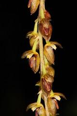 Bulbophyllum dissitiflorum 2015-08-01 02 (JVinOZ) Tags: orchid bulbophyllum orchidspecies