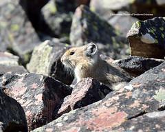 Whiskers (Photos of Southwest Montana) Tags: autumn summer rabbit bunny fall nature rock hare wildlife pika nikontamron bradchristensen dillonbeaverheadbeaverheaddeerlodgenationalforest photosofsouthwestmontana