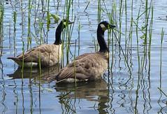 Branta canadensis among reeds (EilaK: Visit my nice galleries too!) Tags: reeds helsinki brantacanadensis vuosaari kallahti