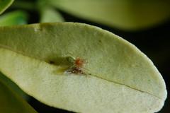Male Nigma walckenaeri (Procrustes2007) Tags: uk england male spider suffolk britain wildlife arachnid flash nikond50 sudbury closeuplens wildlifephotography nigmawalckenaeri d50nocturnal afsnikkor1855eddx gridreftl883407