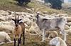 Great goats (will_cyclist) Tags: cycling piemonte vtt sampeyre stradadeicanoni