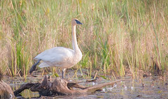 Swan Dance (overthemoon3) Tags: bird fall nature swan pond wildlife migration trumpeter