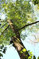 Yellow Wood (Acronychia oblongifolia) (Poytr) Tags: plant tree rainforest outdoor rutaceae mitchellpark yellowwood arfp dryrainforest acronychia vrfp nswrfp qrfp acronychiaoblongifolia dryarf dryarfp sydneyrainforest