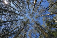 20150920-094208 (2careless) Tags: mt mountainash nationalrhododendrongardens variotessartfe41635