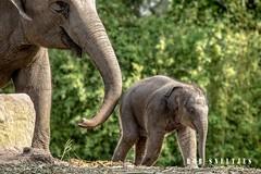 diergaardeblijdorp Rotterdam 2015 (Concert photographer) Tags: zoo rotterdam blijdorp fotografie dieren dierentuin olifanten diergaardeblijdorp sunay ijsberen wildedieren bokito httpwwwdiergaardeblijdorpnl wwwrobsneltjesnl robsneltjesfotografie