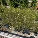 20 Coreopsis moonbean
