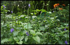 Wildflowers @  Maharashtra Nature Park (Indianature14) Tags: india nature forest october bombay maharashtra wildflowers mumbai wildflower 2015 verbenaceae stachytarphetajamaicensis cityforest wildflora mmrda indianature mahimnaturepark maharashtranaturepark monsoonflora mumbaiforest