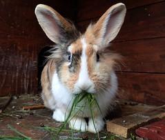 Sue (rjmiller1807) Tags: rabbit bunny animal october bun oxfordshire kaninchen welfare lionhead rspca harwell 2015 animalwelfare rehoming