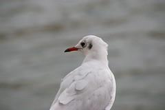 Mouette rieuse (chogori20) Tags: paris bird nature animal seine gull oiseau mouette