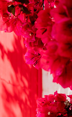 4Y4A0763 (francois f swanepoel) Tags: red summer bougainvilleas