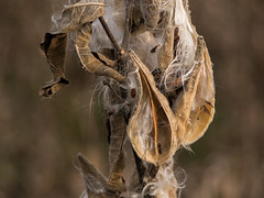 milk seeds (contemplative imaging) Tags: park stilllife plants usa plant fall nature digital america photography photo illinois pod weed october midwest warm open natural district seed conservation dry overcast olympus center il seeds ill american micro area monday milkweed pods 43 pleasantvalley midwestern 2015 mchenrycounty fourthirds ep5 contemplativeimaging ronzack cipvca20151026ep5 20151026