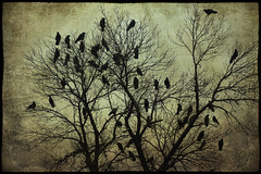 Murder in the October Sky (Garry9600) Tags: autumn canada tree art texture silhouette photomanipulation lumix winnipeg outdoor manitoba explore crows 10000views cans2s fz200