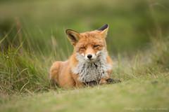 Resting ... (Alex Verweij) Tags: canon rust fox 5d resting vos pauze markiii