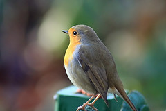 Lovely Robin