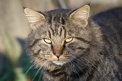 IMG_1531 (fotografia per passione) Tags: cats felini gatti pus