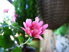 ... (Bia.dreams) Tags: balcony autumn daylight chrysanthemum november flower pink