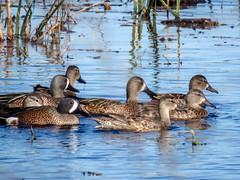 Blue-winged Teals (backyardzoo) Tags: duck teal ducks teals bluewingedteal bluewingedteals