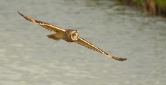 _B4A0125 ransuil (wjdweerdt) Tags: nature birds vogels natuur owl uil uilen velduil