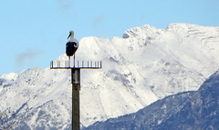 IMG_6719 First snow on the mountains (pinktigger) Tags: italy snow mountains bird nature italia pole stork cegonha cigea friuli storch ooievaar fagagna cicogne cicogna oasideiquadris feagne
