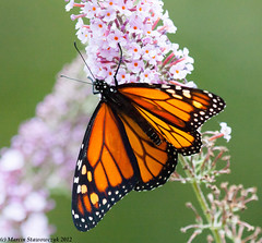 Monarch on a lilly (v4vodka (back in Poland)) Tags: butterfly insect lepidoptera monarch milkweed wanderer monarchbutterfly danausplexippus motyl milkweedbutterfly commontiger blackveinedbrown