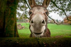 Happy New Year Everyone (goral126p) Tags: autumn portrait tree cute animal happy funny branch donkey newyear autumnal happynewyear nostrils 2016 costwolds a6000 brimpsfield sel18200