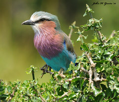 JHG_8128-b Lilac-breasted Roller, Masai Mara, Kenya. (GavinKenya) Tags: africa wild nature animal june john mammal photography gavin photographer kenya african wildlife july grand safari dk naturephotography kenyasafari africansafari 2015 safaris africanwildlife africasafari johngavin wildlifephotography kenyaafrica kenyawildlife dkgrandsafaris africa2015 safari2015 johnhgavin